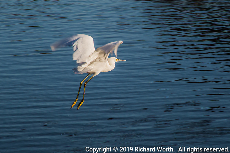 A Snowy egret takes to the air, flying over the rippled waters of the so called Duck Pond at a neighborhood park on an autumn afternoon.