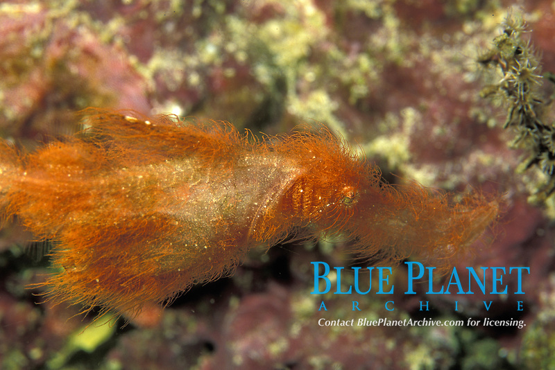 hairy ghost pipefish, Solenostomus paegnius, Milne Bay, Papua-New Guinea