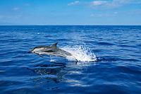 striped dolphin, Stenella coeruleoalba, Azores Islands, Portugal, North Atlantic Ocean