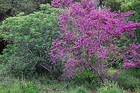 California native trees - Redbud Cercis occidentalis and Buckeye (Aesculus californica) in spring at California Botanic Garden