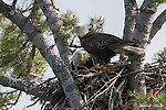 New Hampshire Bald Eagles