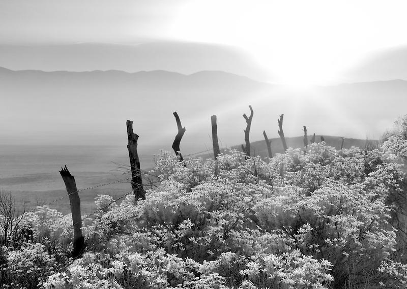 Old fence and Interior Golden Bush (Ericamaenia linearifolia). Carrizo Plain. California