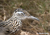 0610-1108  Greater Roadrunner (Chaparral Cock or Ground Cuckoo), Geococcyx californianus  © David Kuhn/Dwight Kuhn Photography
