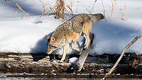 We encountered this Coyote (Canis latrans) several times during our Yellowstone trip. Think it is a female. Even with her injury, visible here, she navigated these logs with dexterity and agility. She even uses her tail to assist with balance.
