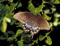 A spicebush swallowtail butterfly (papilio troilus) in the Down Jersey Garden in Leaming's Run Gardens in Swainton, New Jersey. wildlife, animals, insects, butterflies. Swainton New Jersey, Leaming's Run Gardens.
