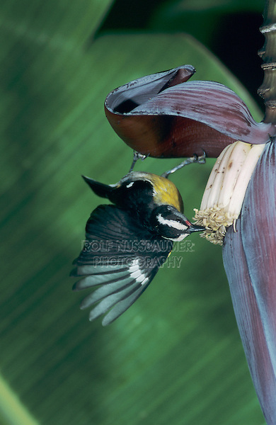 Bananaquit, Coereba flaveola, adult feeding on Banana blossom, Luquillo, Puerto Rico, USA