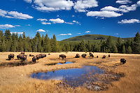 Buffalo in meadow. Yellowstone National Park, Wyoming