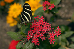 Zebra Longwing on Egyptian Starcluster, Heliconius charithonia, Pentas lanceolata, Southern California