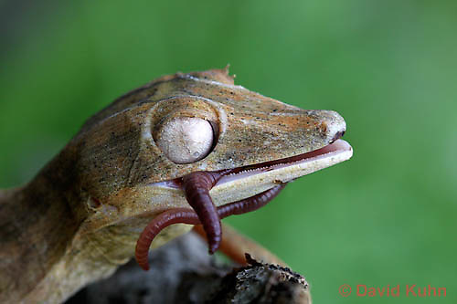 0505-0870  Lined Leaf-tailed Gecko Eating Worm, Uroplatus lineatus © David Kuhn/Dwight Kuhn Photography