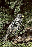 BL03-008z  Starling - winter plumage - Sturnus vulgaris