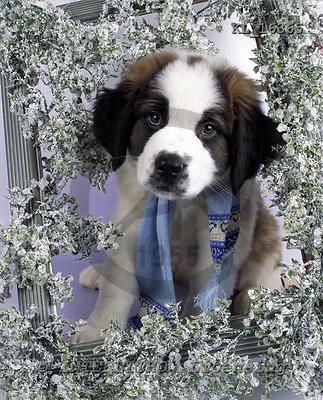 Interlitho, Alberto, ANIMALS, dogs, photos, st.bernhards puppies, KL16365,#a# Hunde, perros