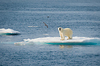 Male Polar Bear, Ursus maritimus, standing on iceberg, yawning, Baffin Island, Canada, Arctic Ocean