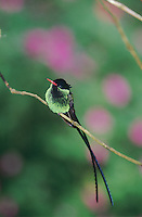 Red-billed Streamertail, Trochilus polytmus ,male, Blue Mountains, Jamaica, Caribbean