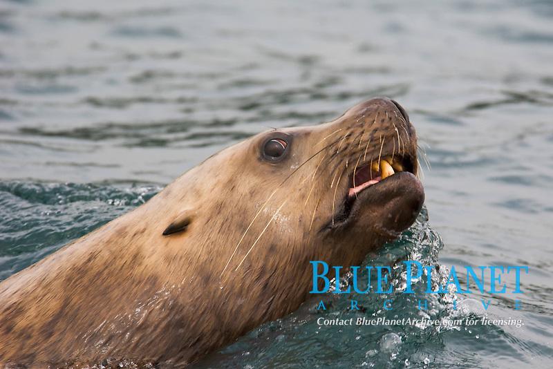 Steller (or northern) sea lion Eumetopias jubatus Alaska