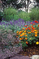 Annuals flowers Cosmos sulphureus & Salvia farinacea mixed with perennial plants pink Gypsophilia Rosea and ornamental striped maiden grass Miscanthus sinensis 'Strictus' in combination in beautiful garden bed border with rocks, mulch