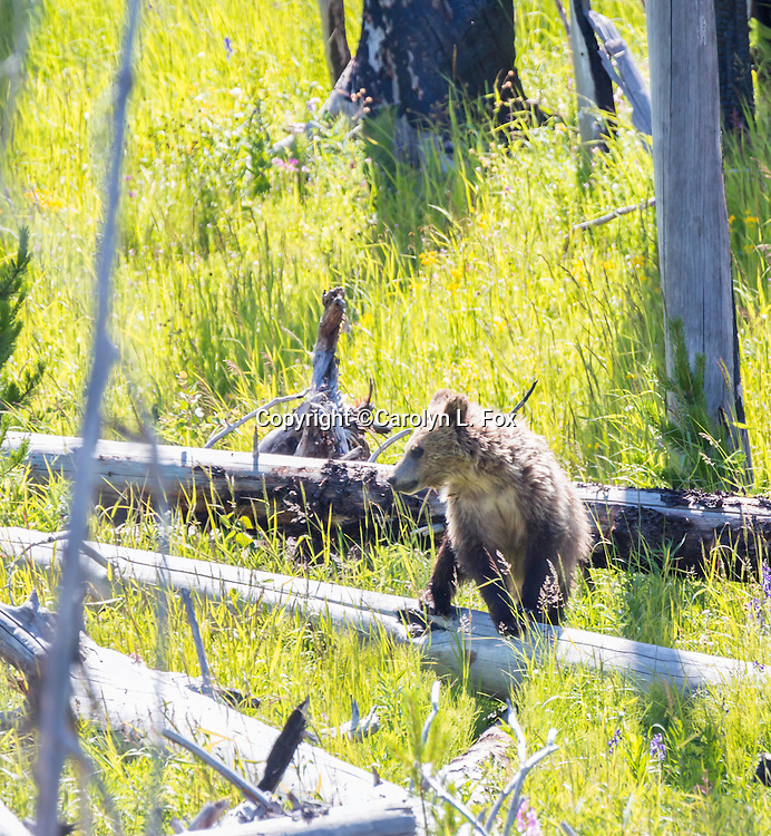Grizzly bears can sometimes be seen in Yellowstone.