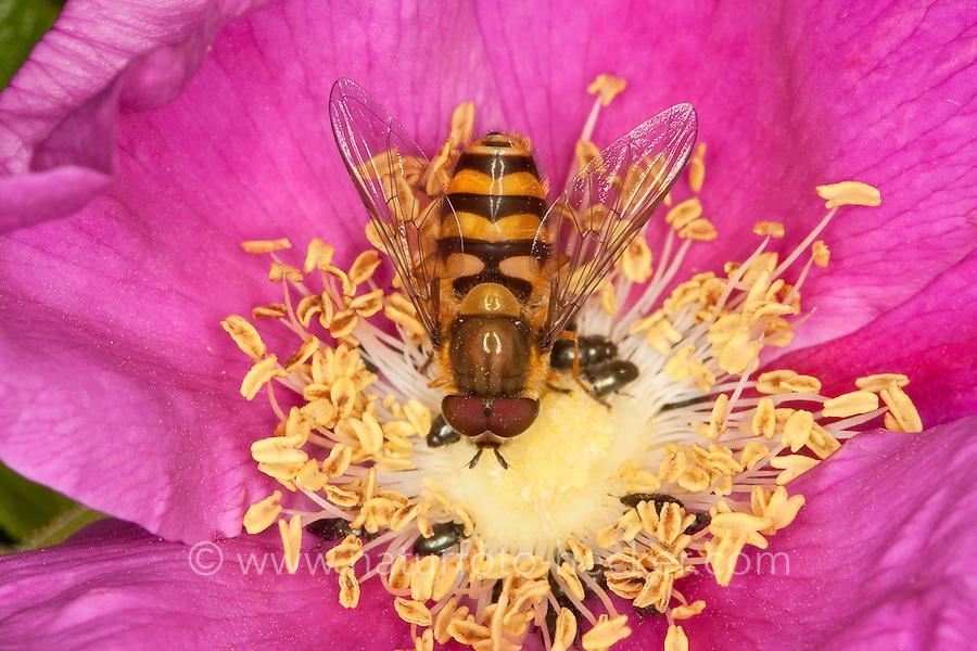 Garten-Schwebfliege, Gartenschwebfliege, Syrphus spec., Männchen auf Blüte, Blütenbesuch, currant hover fly
