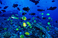 Underwater scene of Hawaiian reef fish