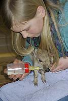 Wildschwein, verwaistes Jungtier wird in menschlicher Obhut großgezogen, Fütterung aus einer Milchflasche mit Spezial-Aufzuchtsmilch, Jungtier wird von Hand aufgezogen, verwaistes Jungtier, Aufzucht eines Wildtieres, Wild-Schwein, Schwarzwild, Schwarz-Wild, Frischling, Junges, Jungtier, Tierkind, Tierbaby, Tierbabies, Schwein, Sus scrofa, wild boar, pig