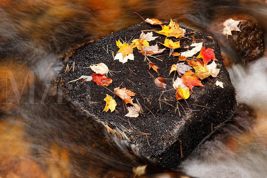 Colorful fallen autumn leaves resting on rock in stream, Mount Desert Island, Acadia National Park, Maine, USA