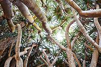 Looking up through the Dragon tree circle at Lotusland; Dracaena draco grove, succulents trees