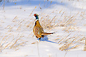 00890-037.20 Ring-necked Pheasant is walking in snow covered habitat during winter.  Hunt, survive, farm, CRP, cold, habitat.
