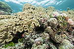 Munda, Western Province, Solomon Islands; a sea cucumber moving amongst large colonies of mushroom leather corals growing near the water's surface on the reef