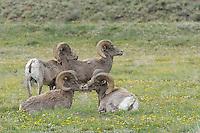 Big Horn Sheep, Colorado