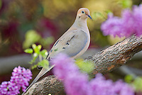 Mourning Dove (Zenaida macroura) in redbud tree.