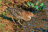 Rufescent Tiger-heron (Tigrisoma lineatum), immature, Pantanal, Brazil, South America