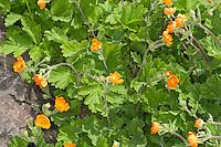 Rote Nelkenwurz, Scharlachrote Nelkenwurz, Garten-Nelkenwurz, Geum coccineum, Scarlet Avens, Avens