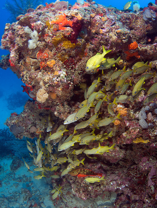 Mostly Small Grunts on the ledge of Chalfonte  Reef.