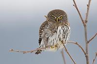 Adult Northern Pygmy-Owl (Glaucidium gnoma) hunting in winter. Okanogan County, Washington. November.