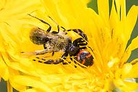 Südliche Glanz-Krabbenspinne, hat eine Biene erbeutet, Beute, Räuber-Beute-Beziehung, Südliche Glanzkrabbenspinne, Krabbenspinne, Synema globosum, Synaema globosum, red crab spider, Napoleon spider, prey, predator-prey relationship, Thomise globuleuse, Thomise globuleux, Araignée-crabe, Araignée Napoléon, Krabbenspinnen, Thomisidae, crab spiders