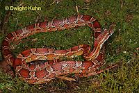 1R22-562z  Corn Snake, Banded Corn Snake, Elaphe guttata guttata or Pantherophis guttata guttata
