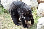American black bear facing right.