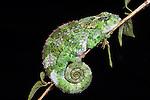 Female Short-horned Chameleon (Calumma brevicorne) resting at night. Andasibe-Mantadia NP, Madagascar.