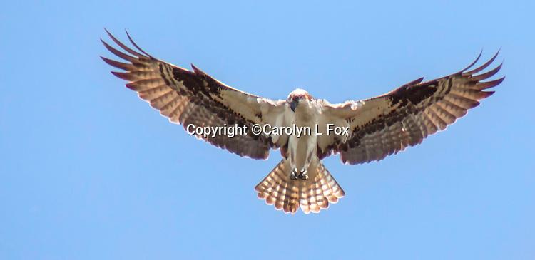 An osprey flies over Yellowstone