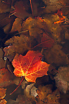 A freshly fallen maple leaf rests in a shallow pool of water in Acadia National Park, Maine, USA