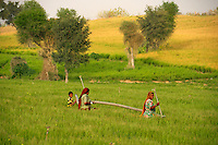Irrigation in the fertile fields Rajasthan