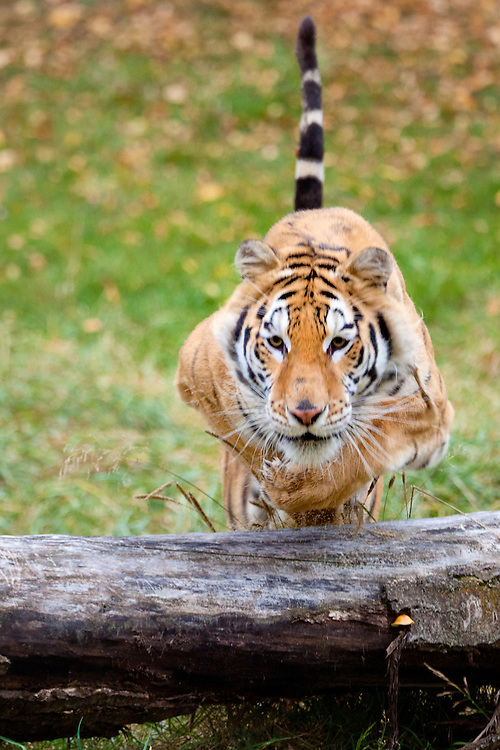 Siberian Tiger jumping over a log - CA