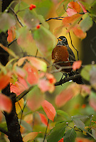 Robin perched on dogwood tree among the fall colored leaves and berries