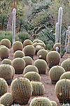 GOLDEN BARREL CACTUS IN MASS, ECHINOCACTUS GRUSONII, IN DESERT GARDEN