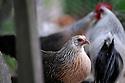 09/05/08 - MARSAC EN LIVRADOIS - PUY DE DOME - FRANCE - Elevage avicole de Alain PERRIN. Coq et poule PHOENIX argenté - Photo Jerome CHABANNE