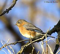 "0121-07yy  Eastern Bluebird ""Virginia"" - Silialia Sialis - © David Kuhn/Dwight Kuhn Photography"