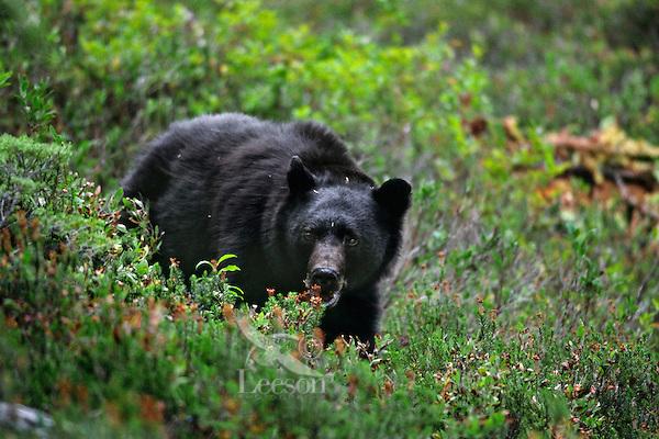 Black Bear (Ursus americanus) in subalpine meadow--looking for blueberries/huckleberries.  Pacific Northwest.  Sept.
