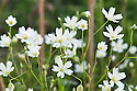 Greater stitchwort (Stellaria holostea), Devon hedgerow, late April.