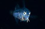 Goatfish larva , San Miguel, Dauin, Visayas, Philippines 2017, Blackwater diving