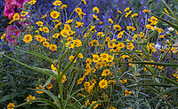 Layia gaillardioides or woodland tidytips with milkweed in the foreground for monarch butterflies; Kate Frey Garden