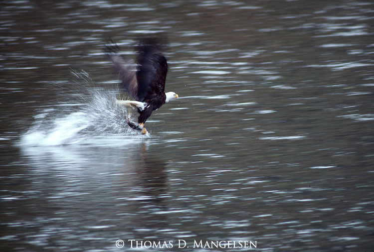 A bald eagle plucks a salmon from a river in Montana.